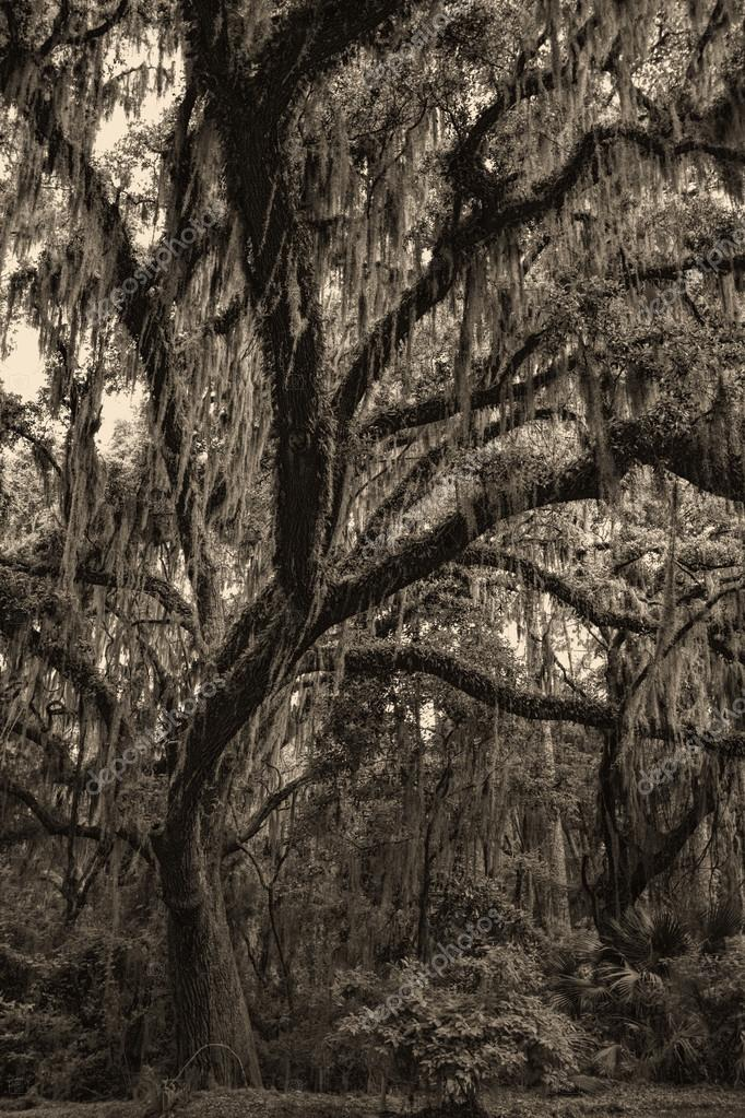 Georgia Live Oaks and Spanish Moss in Sepia Tones