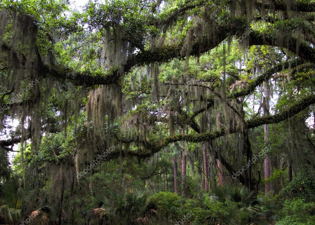 Live Oak Tree - Quercus virginiana and Spanish Moss