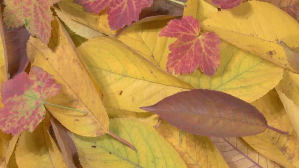 Der Herbst verlässt uns aus nächster Nähe. Rotes und gelbes Laub.