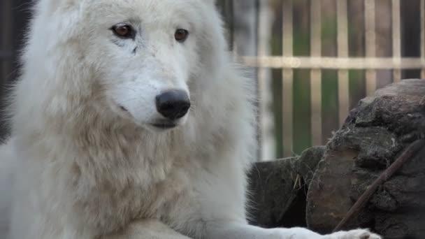 Farkas. Egy fehér Hudson farkas pihen az állatkert egyik peronján. Közelről lőtték le. Novoszibirszk.