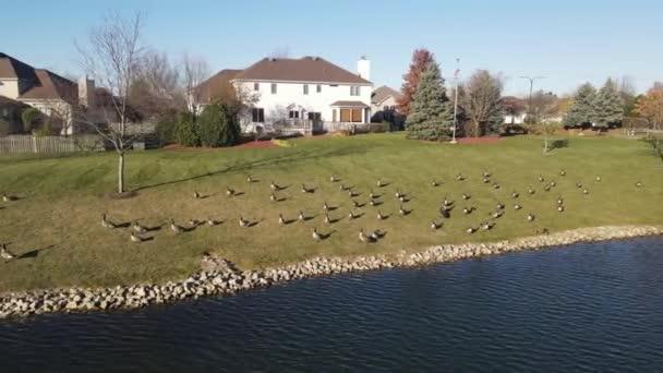Luftaufnahme von entspannenden und schwimmenden kanadischen Gänsen auf einer Teichoberfläche. Amerikanische Vorstadtgegend. 4K
