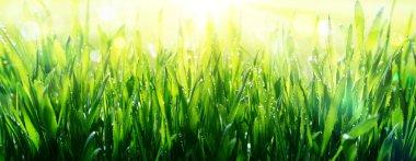 Freshness of spring - dew on grass