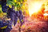 Fotografie vinice s zralé hrozny v přírodě při západu slunce