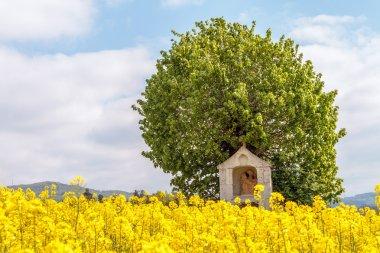Spring Canola