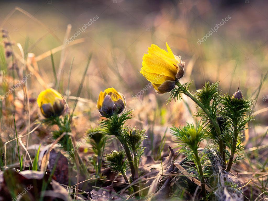 Ailenin Adonis çiçekleri