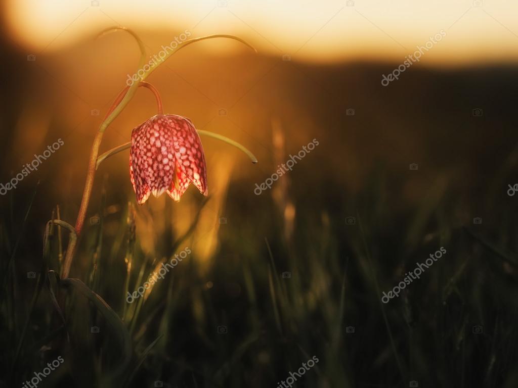 Wild Chess Flower