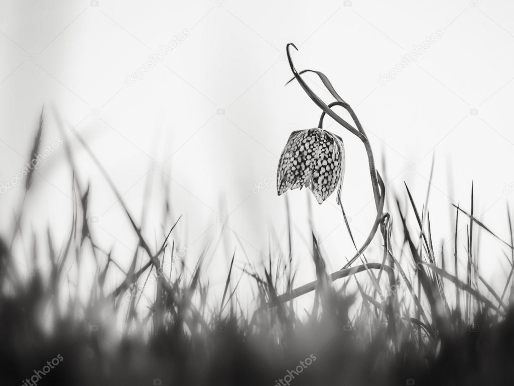 Wild Sneaks Head Chess Flower
