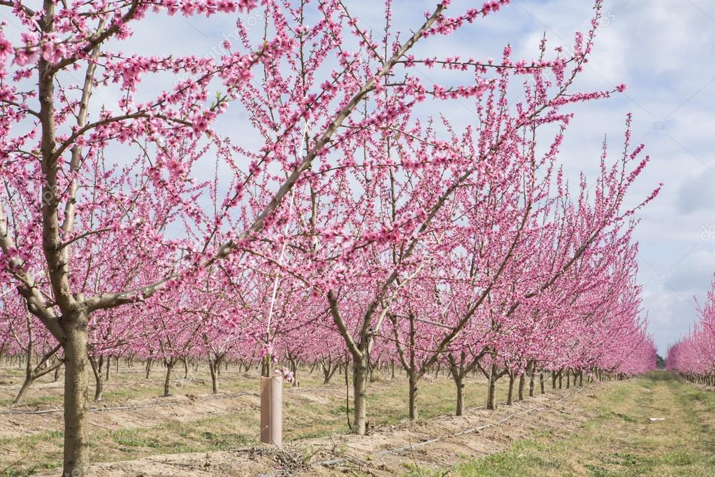 Peach plantation in blossom, Spain