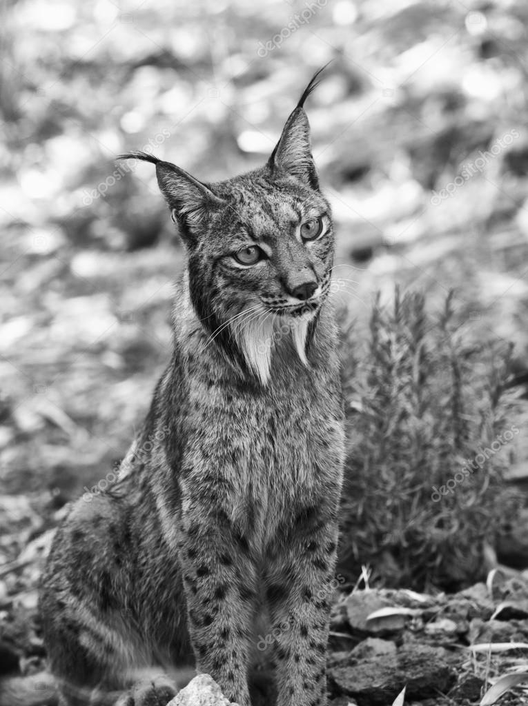 Iberian lynx black and white shot