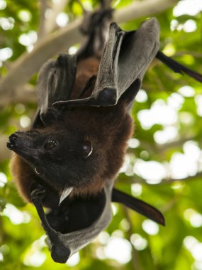 Two Indian flying foxes