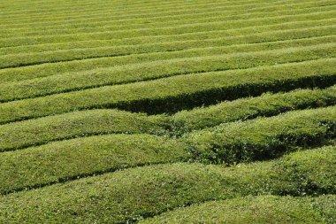 """Картина, постер, плакат, фотообои """"Чайные плантации в Европе на ферме в Горреана поле в Азорские острова """", артикул 120107736"""