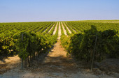 Fotografie Rural landscape of green Vineyard