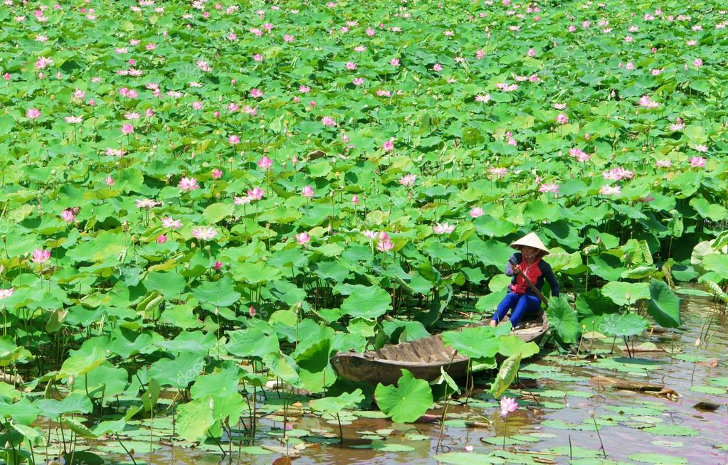 Vietnamese village row boat lotus flower lotus pond stock photo beautiful landscaping of vietnamese village woman rowing the row boat to pick lotus flower on waterlilly pond large aquatic flora lake in green leaf mightylinksfo