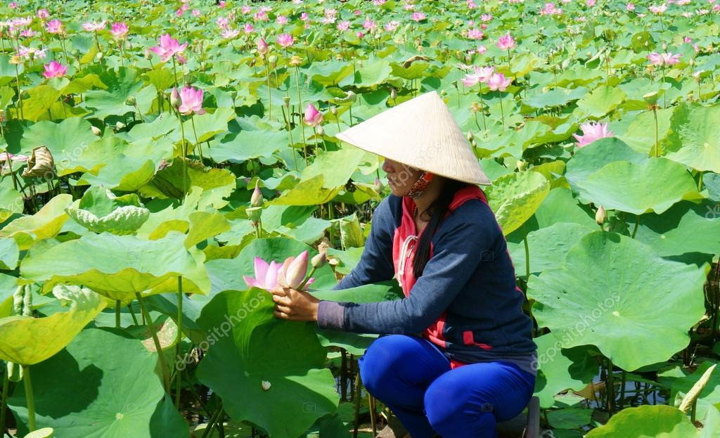 Vietnamese village row boat lotus flower lotus pond stock beautiful landscaping of vietnamese village woman rowing the row boat to pick lotus flower on waterlilly pond large aquatic flora lake in green leaf mightylinksfo