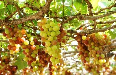 Vietnam vineyard, vine, ripe red grape
