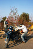 Asijské kultury, broskvový květ, vietnamský květináč