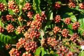 Vietnam coffee tree, coffee bean