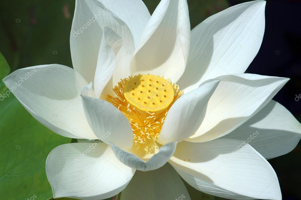 Vietnamese flower white lotus flower stock photo xuanhuongho vietnamese flower white lotus flower stock photo mightylinksfo