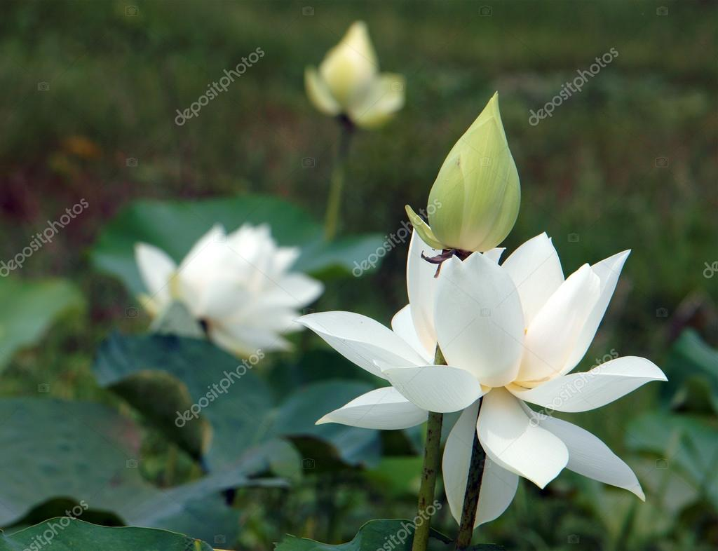 Vietnamese flower white lotus flower stok foto xuanhuongho vietnamese flower pure white lotus flower symbol of vietnam at mekong delta closeup of beautiful blossom flower bud ob green background xuanhuongho mightylinksfo