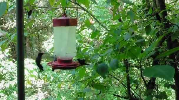 Zelená korunován brilantní kolibříků
