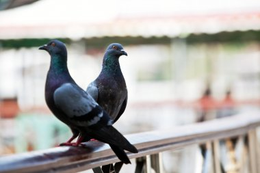 Two pigeons on handrail