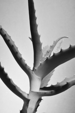 Aloe vera plant isolated on white in black and white monochrome