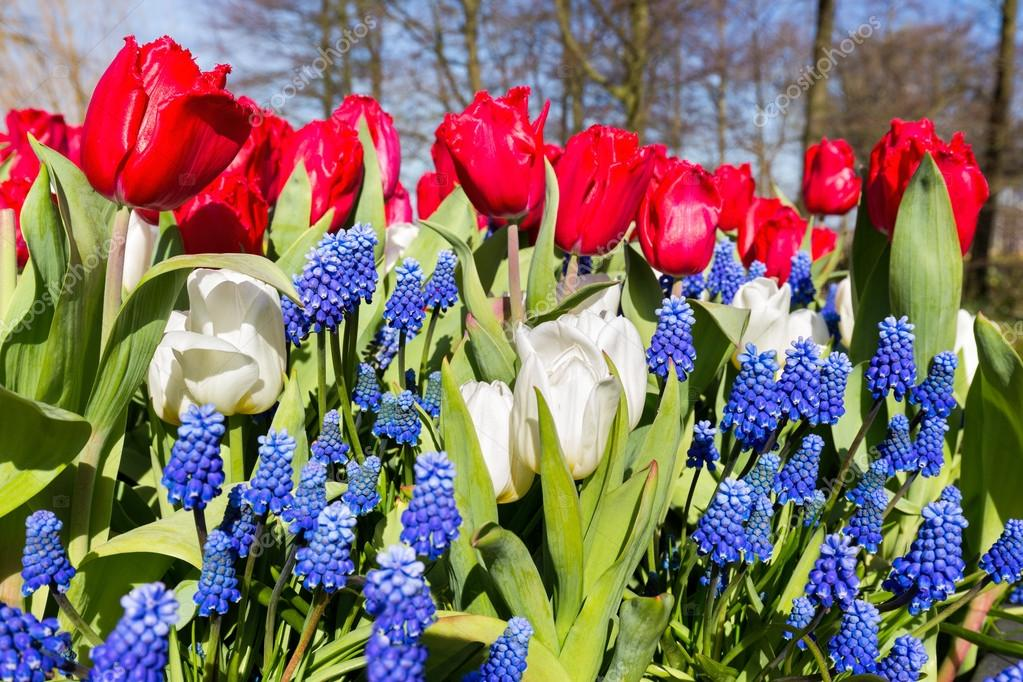 Red white blue flowers in spring season — Stock Photo ...