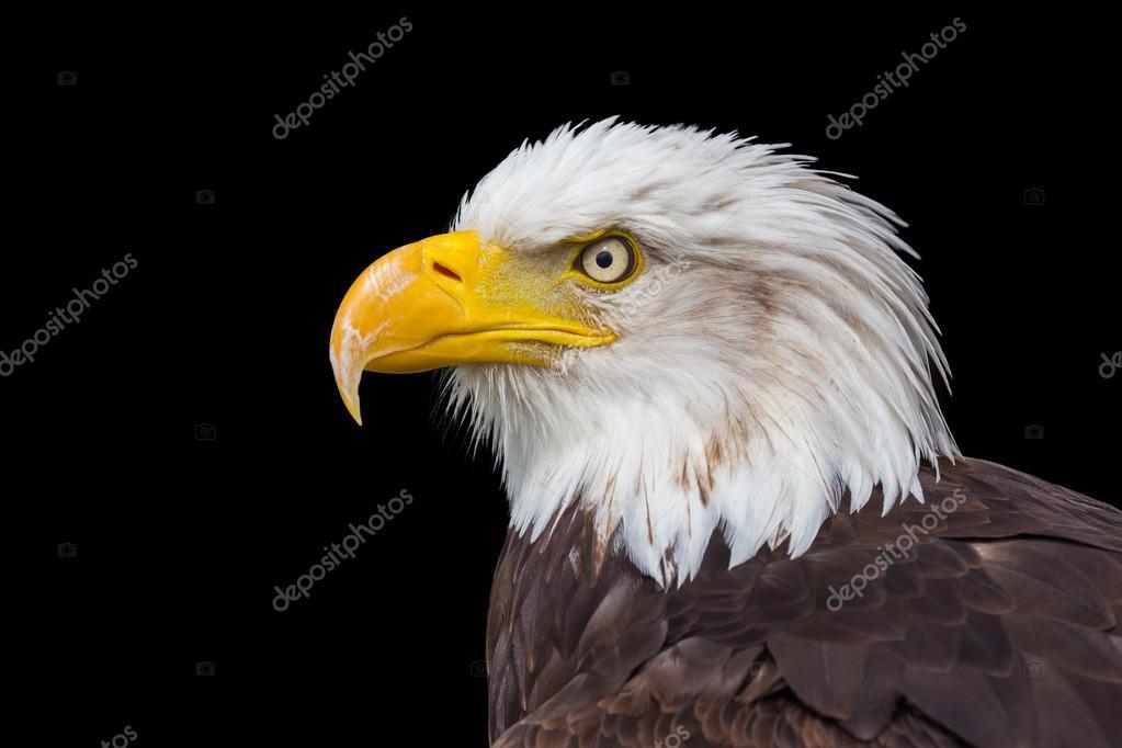 Portrait head sea eagle on black background