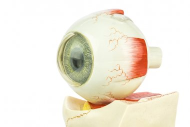 Artificial model of human eye