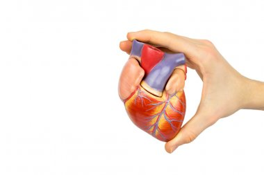 Hand holding artificial human heart model on white background