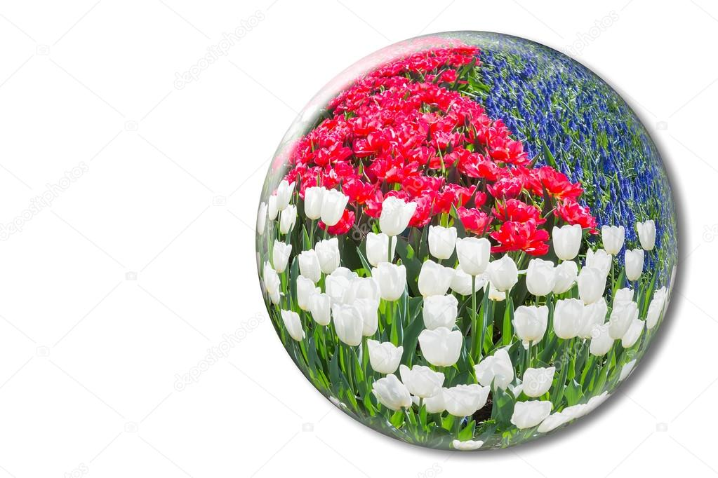Red white tulips and blue grape hyacinths in crystal sphere