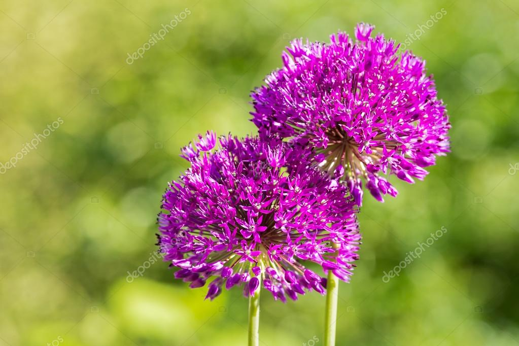 Two purple flowers of ornamental onions together