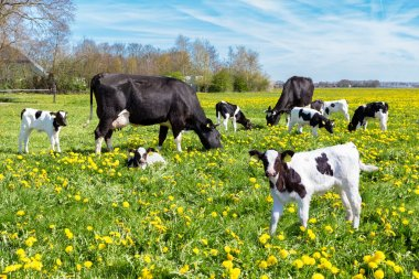Meadow full of dandelions with grazing cows and newborn calves in spring season stock vector