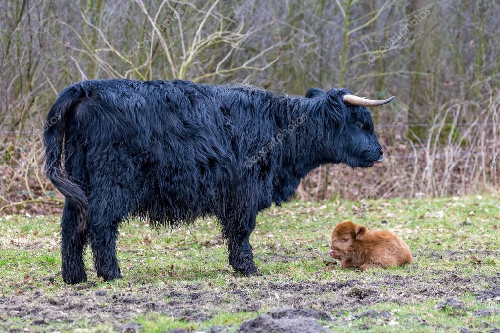 Black mother scottish highlander cow with brown calf