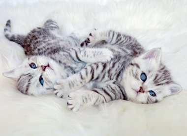 Two young british shorthair silver tabby cats lying playing toge