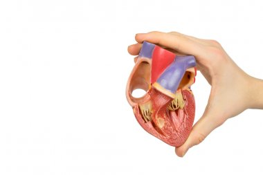 Hand holding model open human heart on white