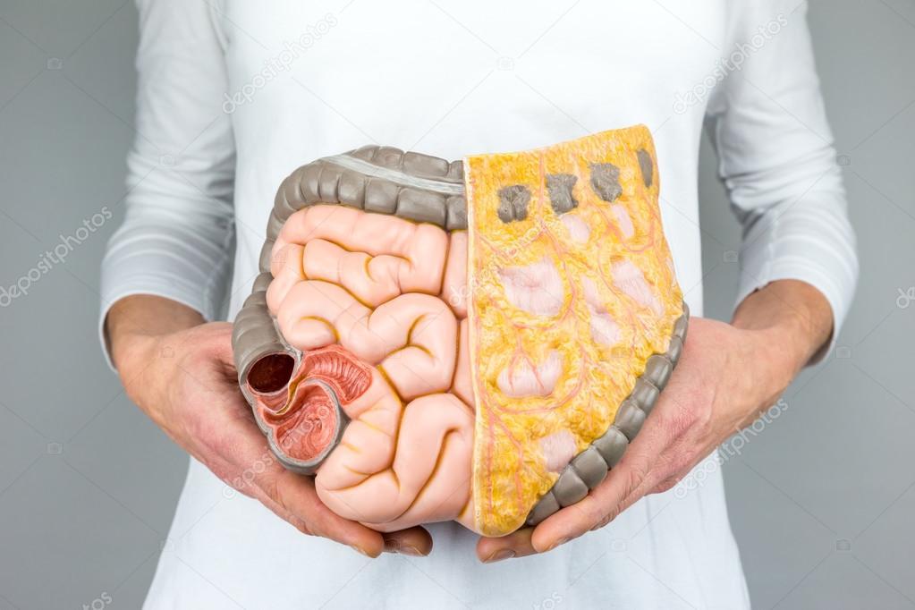 Mujer que sostiene el modelo de los intestinos humanos delante de ...
