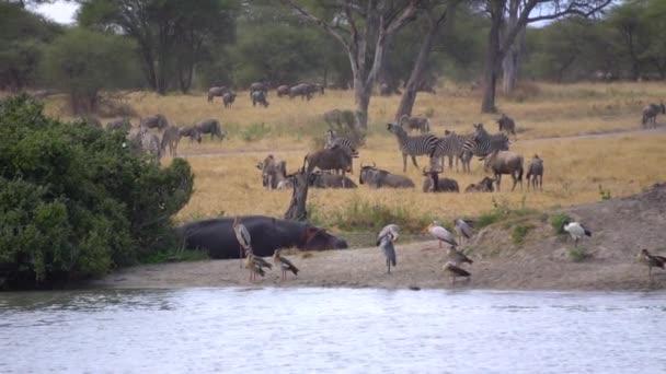 Tansania, afrikanische Safari. Zebras, Störche, Gnus, Nilpferd, Zeitlupe