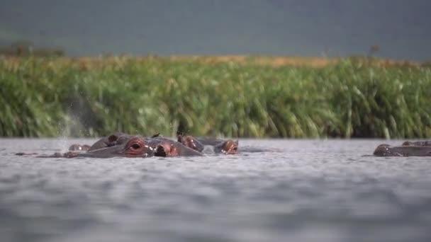 Flusspferdherde in natürlicher Umgebung. Nilpferd entspannt sich im Fluss in Tansania