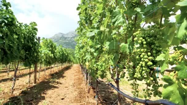 Zavlažování na vinici, Řady hroznů a potrubí s kapkami kapající vody