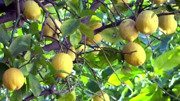 citroníku zblízka