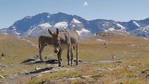 Alpine landscape with mules slow motion