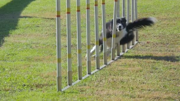 psí agility, vazba Poláci
