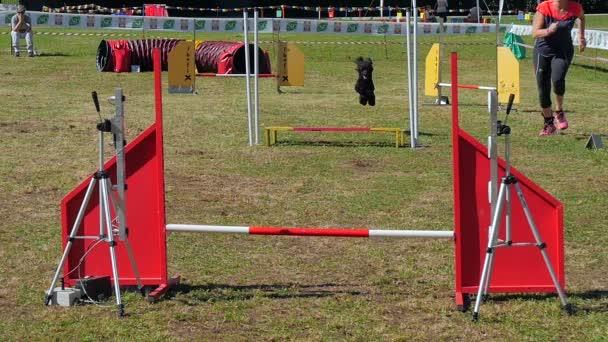 Dog agility závod, černý pudl v akci
