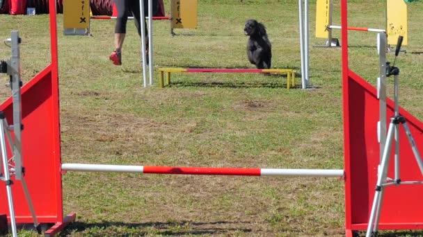 Dog agility závod, šedý pudl v akci
