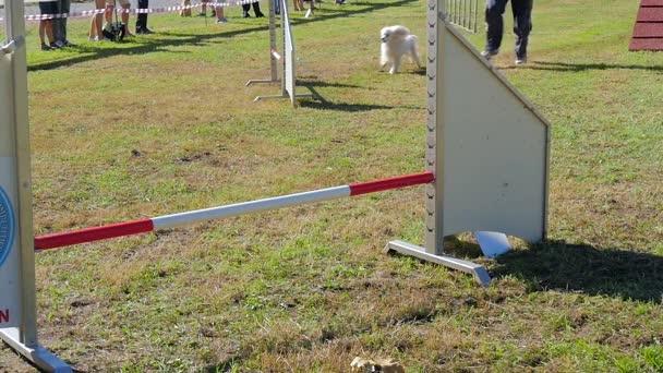 Dog agility závod, bílý pudl v akci