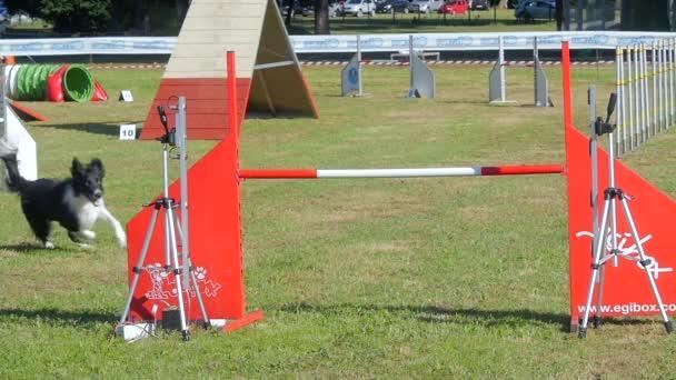 Dog agility závod, border kolie v akci