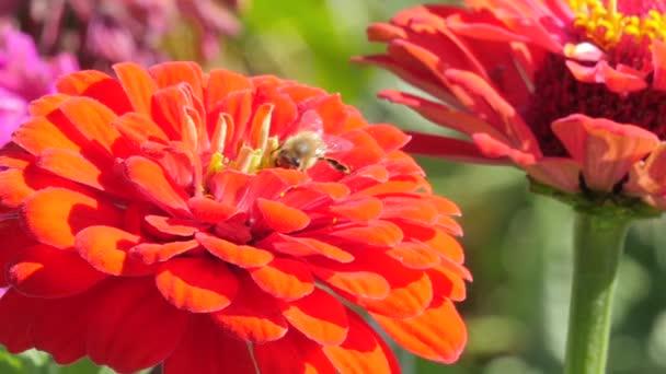 rot Dahlia und Biene