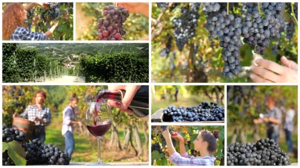 Grape harvest montage