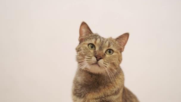 Serious cute tabby Hauskatze Ingwer Blick in die Kamera und herum auf weißem Hintergrund.